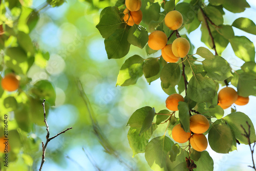 Foto Branch with ripe apricots on summer day