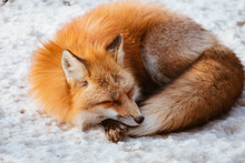 A Cute Foxes Sleep On The Snow...
