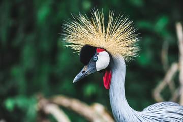 Black Crowned-crane bird - Balearica pavonina, Bali, Indonesia. Portrait close up