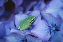Tiny Tree Frog On Hydrangea