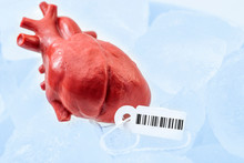 Human Organ Traffic, Internal Organs Black Market And Illegal Medical Procedure Concept Theme With Frozen Donor Heart With Tag And Barcode Attached, Preserved On Ice Ready For Transplant Surgery