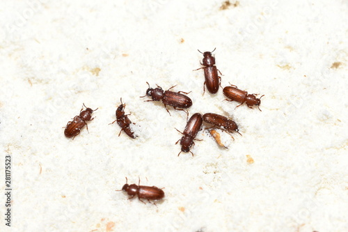 Fotografia, Obraz The food pest confused flour beetle Tribolium confusum in wheat flour