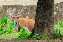 Image Of Common Eland, Eland, ...