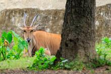 Image Of Common Eland, Eland, Southern Eland, Eland Antelope(Taurotragus Oryx)