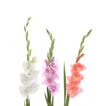 Beautiful Color Gladiolus Flow...