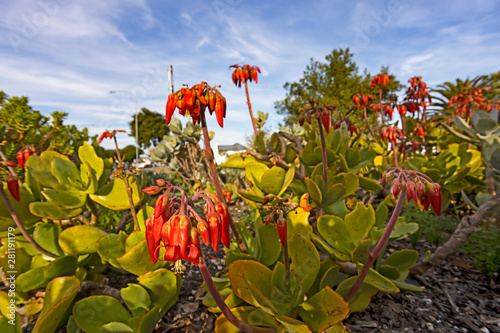 Fotografie, Obraz  Bright red flowers on pigs ear succulent plant
