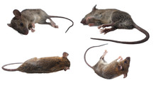 Many Dead Mice (Mouse) On A Wh...