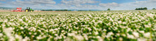 Panorama Of Buckwheat Blossom ...