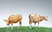 Portrait Of Brown Cow On Grass With Grey Sky