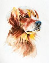 Watercolor Portrait Of A Golden Retriever, Illustration For T-shirt