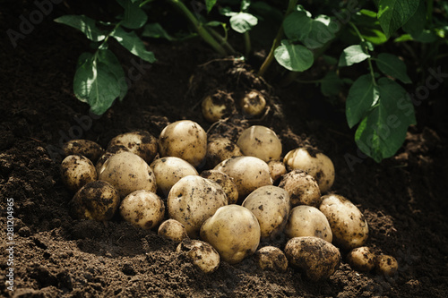 Poster de jardin Fleur Harvest of fresh raw potatoes on the ground. Organic farming products