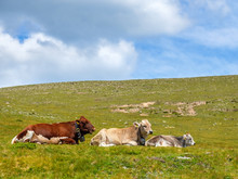 Cows Lying Down On An Alp Meadow