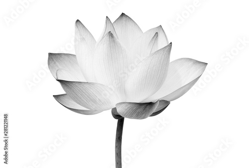 Photo Stands Lotus flower Black and white Lotus flower isolated on white background. File contains with clipping path so easy to work.