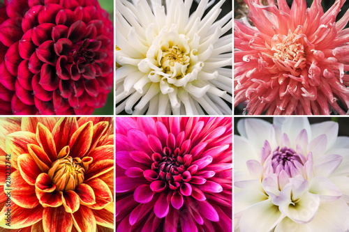 Dahlia Collage from different pictures of autumn flowers dahlias