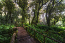 Wooden Bridge Walkway In To The Rain Forest At Doi Inthanon,ChiangMai Thailand
