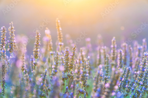 Fototapety, obrazy: Closeup bushes of purple lavender flowers in summer in Valensole, Provence, France