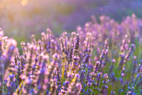 Closeup bushes of purple lavender flowers in summer near Valensole in France
