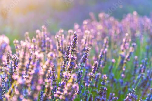 Photo sur Toile Lavande Closeup bushes of purple lavender flowers in summer near Valensole, France