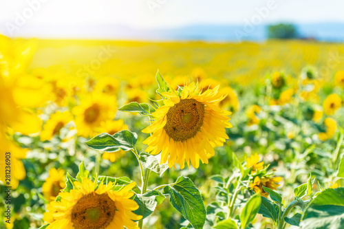 Poster Geel Field of blooming sunflowers in Valensole