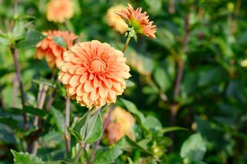 flowering dahlia in the garden