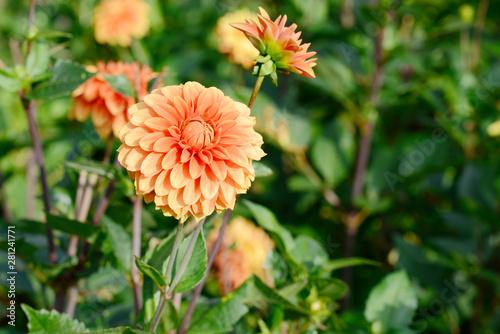 Photo flowering dahlia in the garden