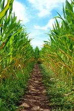 A Corn Maze Or Maize Maze - Ma...