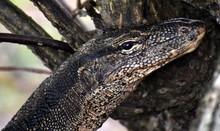 Face Of A Monitor Lizard