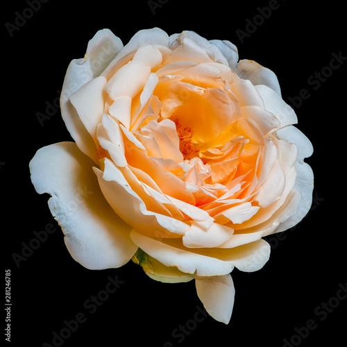 Fotografie, Obraz  isolated orange white rose blossom macro,black background, vibrant color fine ar