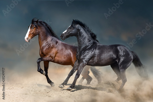 Fototapeta Two stallion run and play fun in desert dust obraz