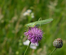 A Green Cricket (katydid) Perc...