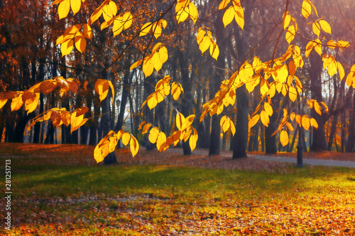 Foto auf Gartenposter Landschaft Autumn background - yellowed tree branches with golden foliage onthe background of city park alley in sunny evening