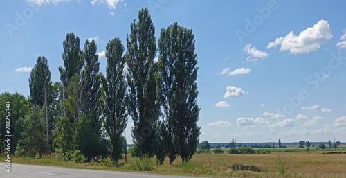 Close-up of poplars standing on the road in Ukraine Wallpaper Mural