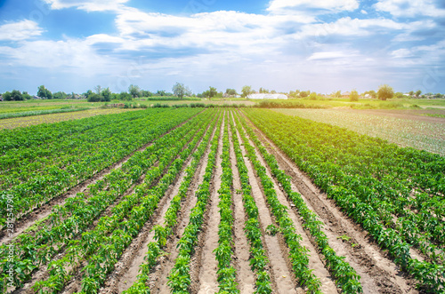 Autocollant pour porte Culture Rows / plantation of young pepper on a farm on a sunny day. Growing organic vegetables. Eco-friendly products. Agriculture land and farming. Agro business. Ukraine, Kherson region. Selective focus