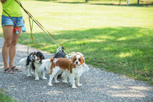 Woman Walking A Pack Of Small Dogs Cavalier King Charles Spaniel In Park. Professional Dog Walker Service.