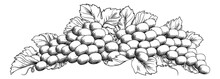 Grapes Bunch On Vine With Leaves In A Woodcut Etching Style