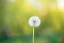 Dandelion Seeds In The Sunligh...