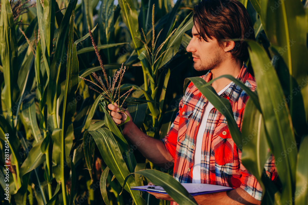Fototapety, obrazy: Agronomist  in a cornfield  taking control of the yield and regard a plant. - Image