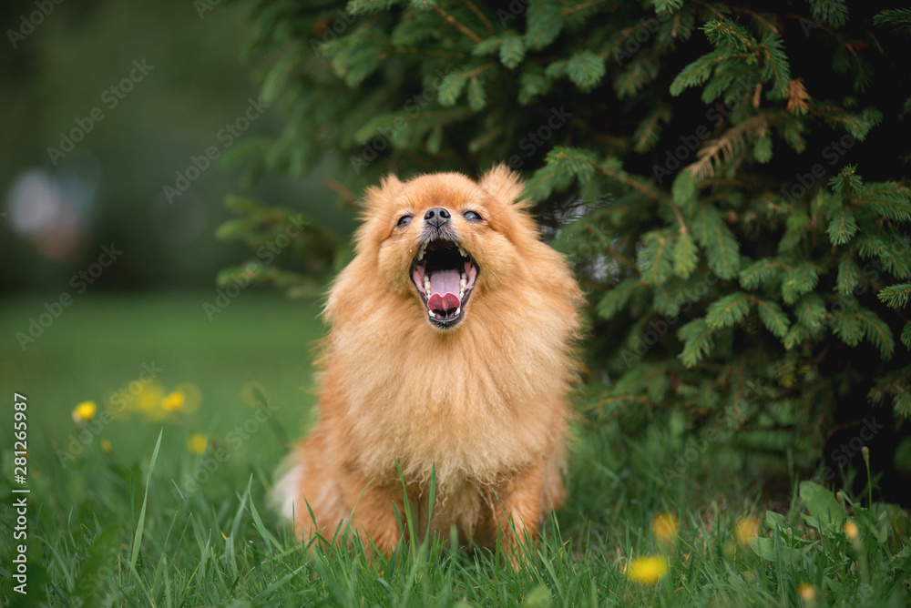 Fototapeta Little red dog breed Spitz autumn in the Park at the Christmas tree yawns - obraz na płótnie