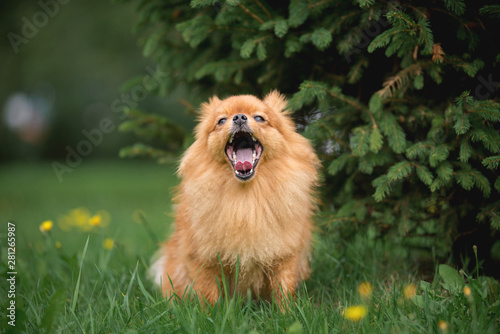 Fototapeta Little red dog breed Spitz autumn in the Park at the Christmas tree yawns obraz na płótnie