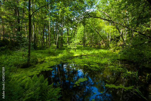 Fotografia, Obraz  Stawek sadzawka bagno puszcza las zielono