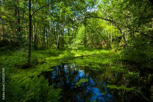 Valokuva  Stawek sadzawka bagno puszcza las zielono