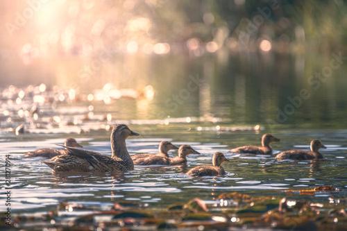 Fototapeta  duck family on the pond