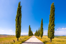 Italian Cypress Trees Alley An...