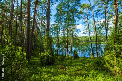 Fototapeta Zielony las jezioro sosny wakacje przyroda obraz
