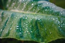 Water Drop On Tropical Leaf, B...