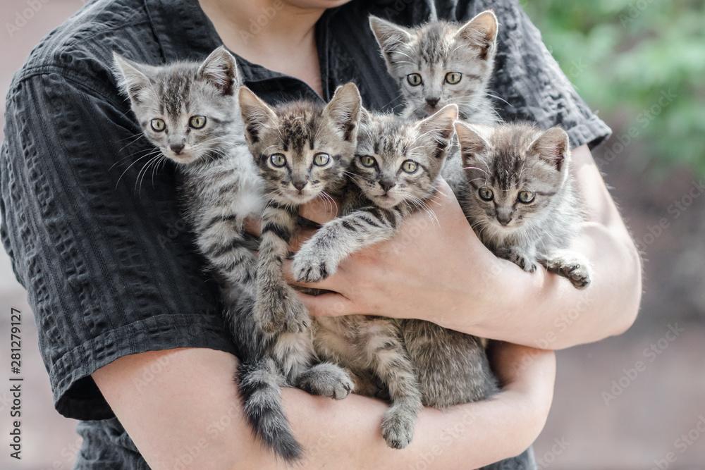 Fototapeta bunch of tabby kittens in female hands