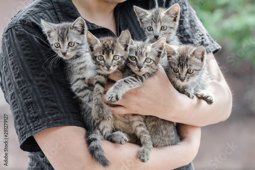 Fototapeta bunch of tabby kittens in female hands obraz
