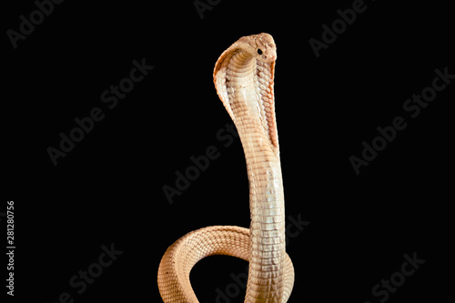 Valokuvatapetti Albino cobra isolated