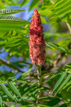 Sumac Tree With Leaves