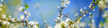 Spring Blossoming Tree Branch On Blurred Blue Sky Background And Foreground